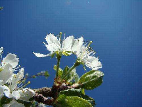 flower apple blossom himmel