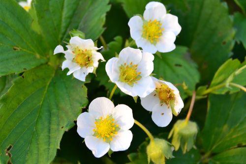 flower strawberry dacha