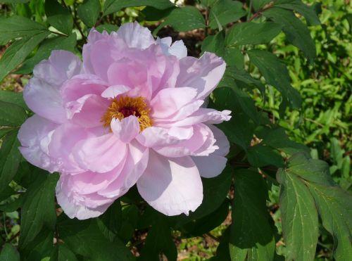 blossom bloom shrubby peony