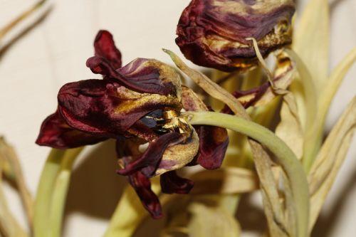 gėlė,tulpė,pavasaris,gamta,gėlės,Uždaryti,spalva,tulpių puokštė,nudrus,pistil
