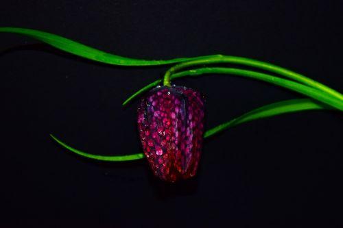 flower fritillaria meleagris fritillaria