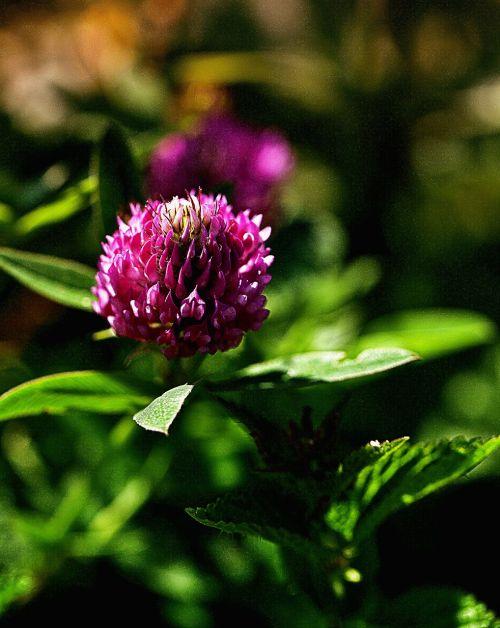 flower clover flower list of clover