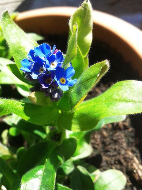 flower forget me not blue