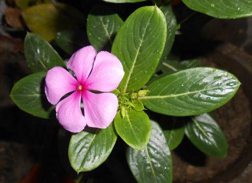flower madagascar periwinkle nityakalyani