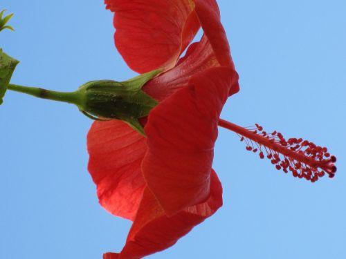 flower tropics hybiscus
