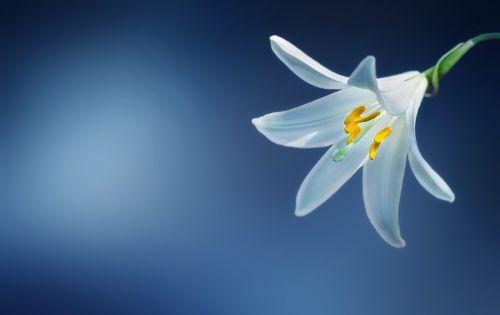 flower lily lilium candidum