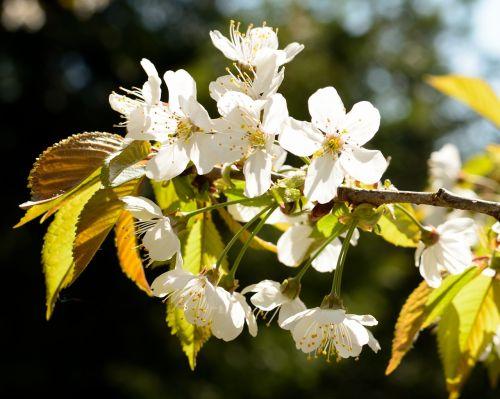 žiedas,žydėti,vyšnia,pavasaris,vyšnių žiedas,baltas žiedas,vaismedis,žydėti,gamta
