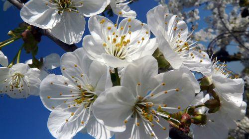 žiedas,žydėti,vyšnių žiedas,balta,pavasaris,baltas žiedas,augalas,žydėti,gamta