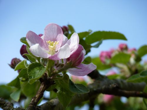 blossom bloom apple
