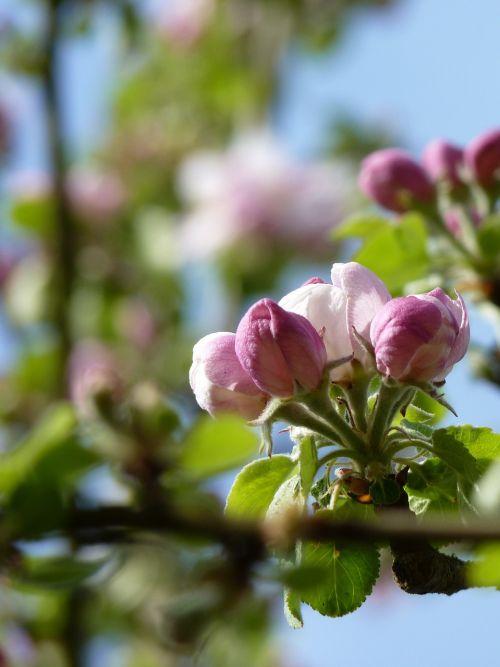 žiedas, žydėti, obuolys, Uždaryti, budas, pavasaris, obuolių žiedas, Obuolių medis, gamta, obelų žiedas, rožinis, lapai, medis, kernobstgewaechs, vaisiai, sodas, žydėti, filialas