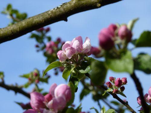 žiedas, žydėti, obuolys, pavasaris, obuolių žiedas, Obuolių medis, gamta, obelų žiedas, rožinis, lapai, medis, Uždaryti, kernobst gewaechs, vaisiai, sodas, žydėti, filialas