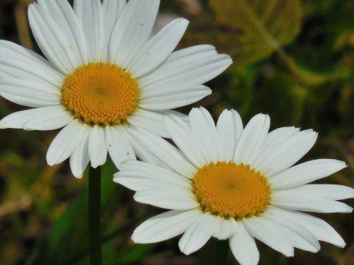 flower daisy nature