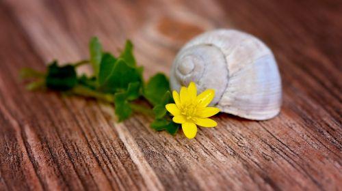 gėlė, žiedas, žydėti, geltona, celandine, lukštas, tuščia, tuščia sraigė, mediena, Uždaryti