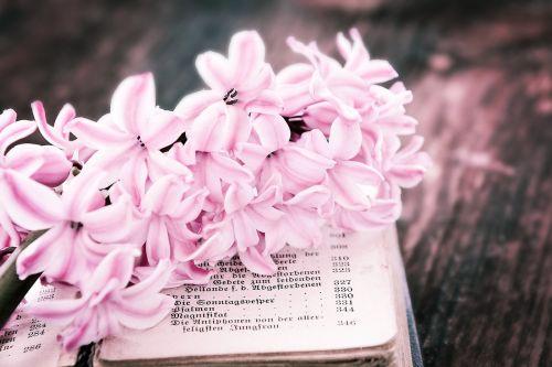flower hyacinth pink