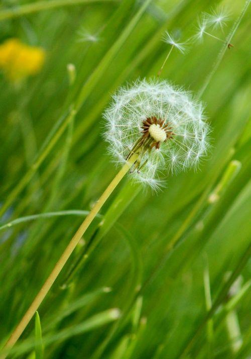 flower dandelion dandelions
