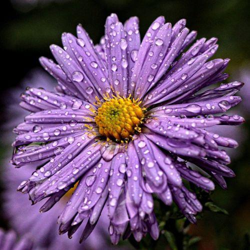 flower drops flora