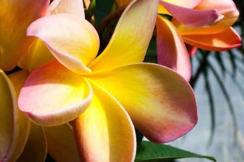 flower tropical frangipani