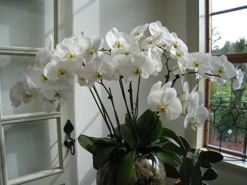 flower orchide potted plant