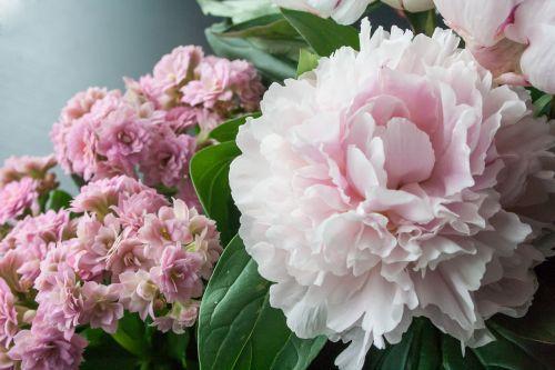 gėlė, pikonija, žiedas, žydėti, augalas, gamta, flora, rožės, rožinis, sodas, raudona, žalias, pilnai žydėti, gėlių puokštė, spalvinga, gėlių sodas, žydėti, meilė, dovanos, pasveikinimas, draugas, džiaugsmas, vasara, pavasaris, gražus, gerai, Uždaryti, balta