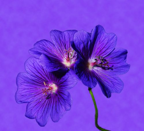 flower flowers blue