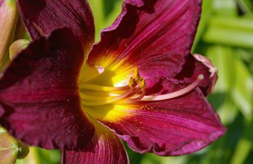 flower daylily lily
