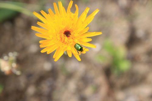 gėlė,klaida,geltona,vabzdys,vasara,augalas,gyvūnas,natūralus,gėlių,žiedadulkės,laukinė gamta,žiedlapis,šviesus,išplistų,ekologija,lauke