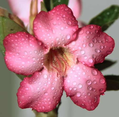 flower pink drops