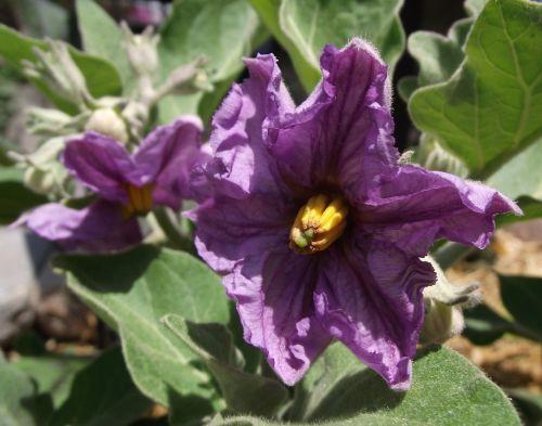 flower bloom eggplant