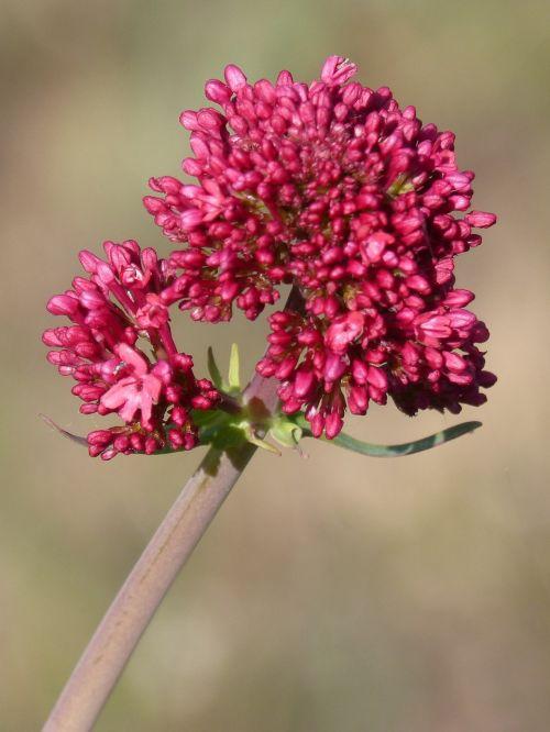 flower magenta nature