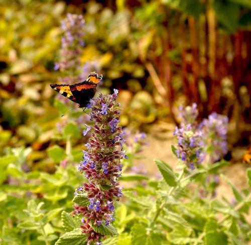 gėlė,drugelis,flora,gamta,vabzdys,vasara,Iš arti,drugelio sparnai,apdulkinimas,sodas,darbas,mažos gėlės,šiltas apšvietimas,augalai,saulėtas