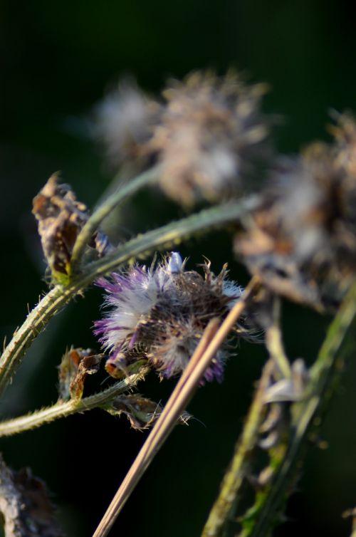 flower macro thistle