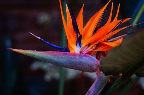 flower bird of paradise paradise