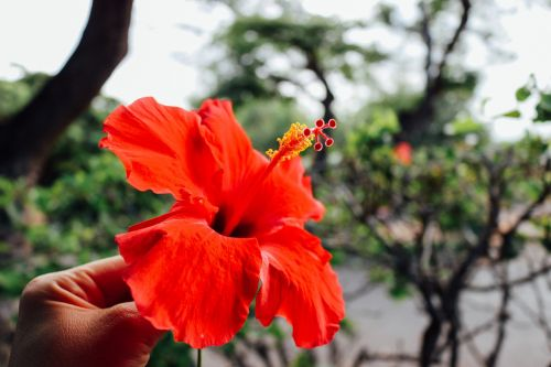 flower hawaiian hibiscus
