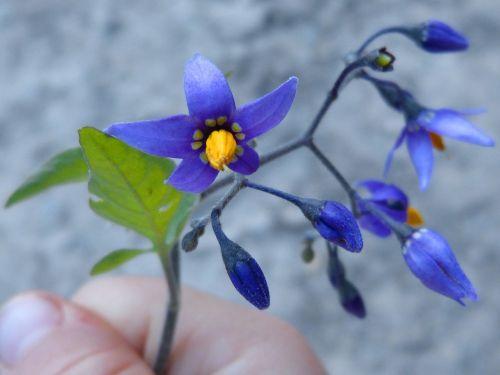flower violet hand