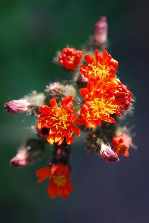 asteracea flower blossom