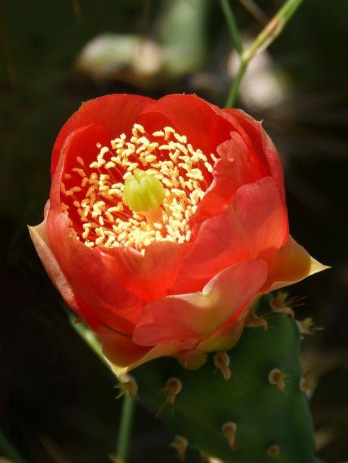 flower cactus spina