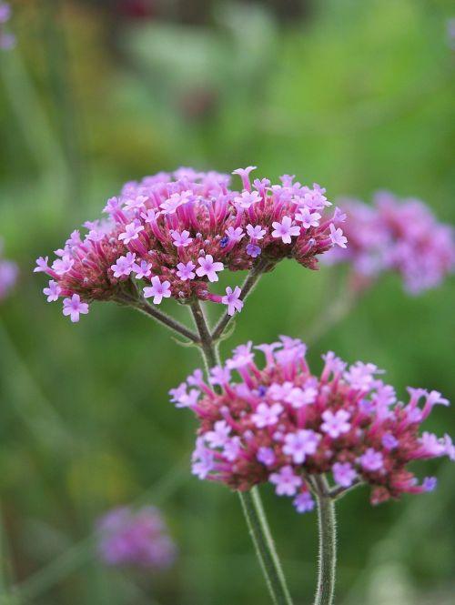 high verbena flower blossom
