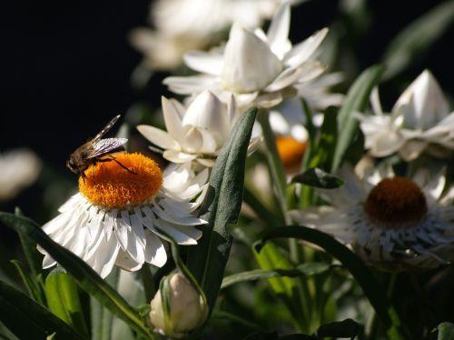 gėlė,balta,augalas,gamta,žiedas,žydėti,balta gėlė,žalias,balta žalia,saulė,šviesa,vabzdys,žalia balta,gėlių puokštė,geltona