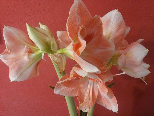 flower amaryllis pink