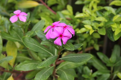 flower catharanthus roseus showy flowers