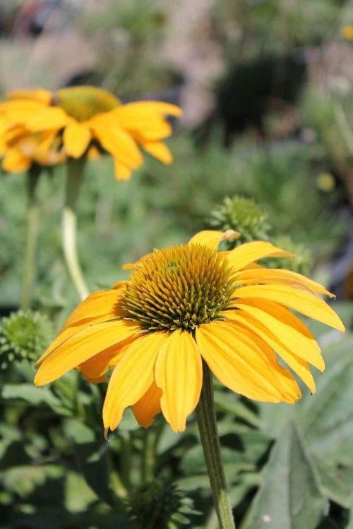 flower yellow flower garden