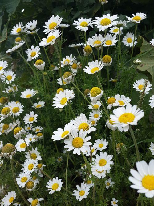 flower daisy green field