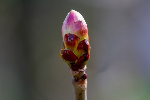 flower bud  maple  nature