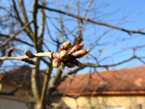 flower buds cherry buds spring