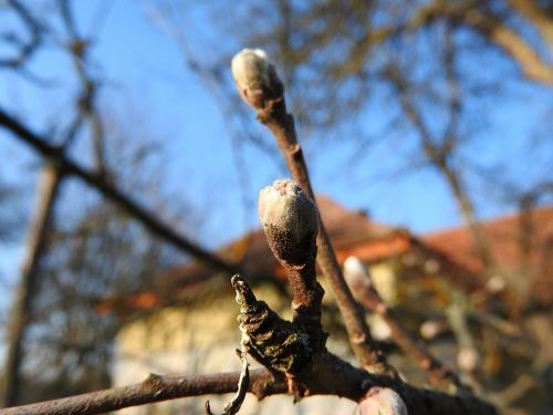 flower buds apple buds spring