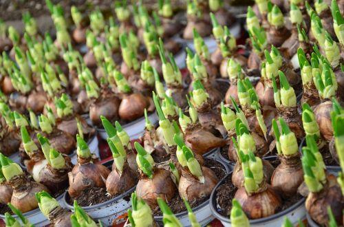 flower bulbs children spring flowers