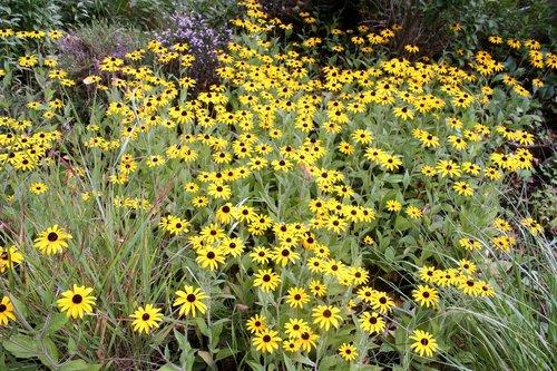 flower carpet  walk in the park  sunflower