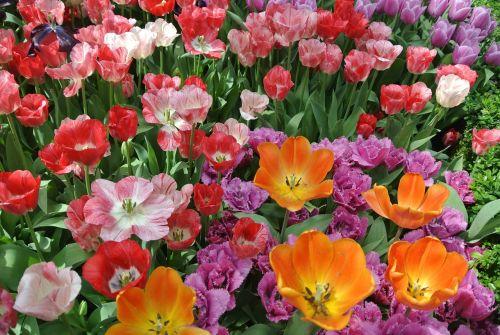 flower cluster tulip blooming