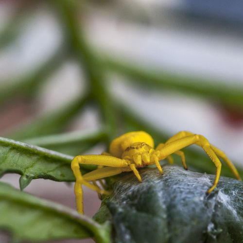 flower crab spider crab spider yellow