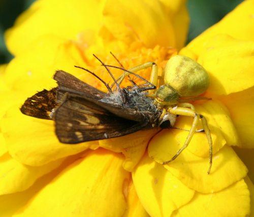 flower crab spider genus misumena hunter